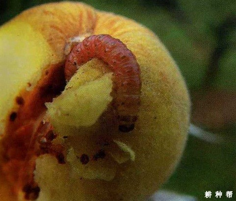 如何防治桃树桃蛀螟?附图片