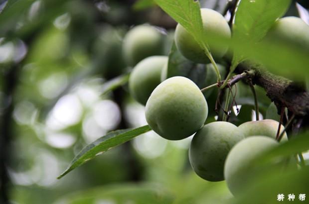 如何对李子树进行疏花疏果?