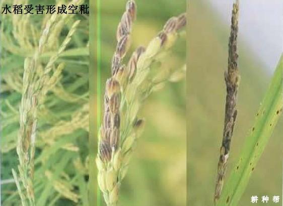 水稻如何防治稻绿蝽?