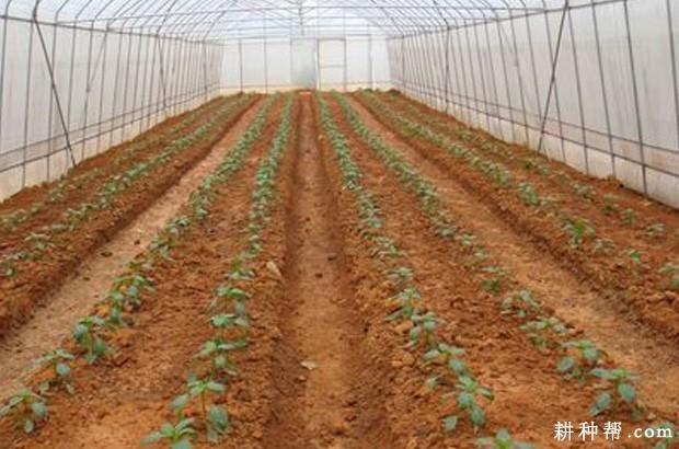 越冬辣椒如何种植?