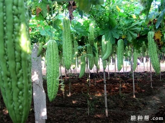 种植苦瓜如何施肥?