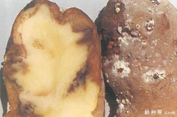 蔬菜种植马铃薯白绢病如何防治?