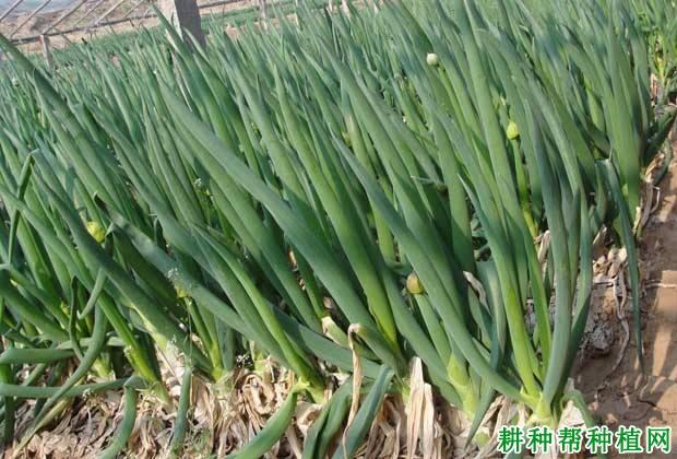 蔬菜种植如何防止春葱先期抽薹?