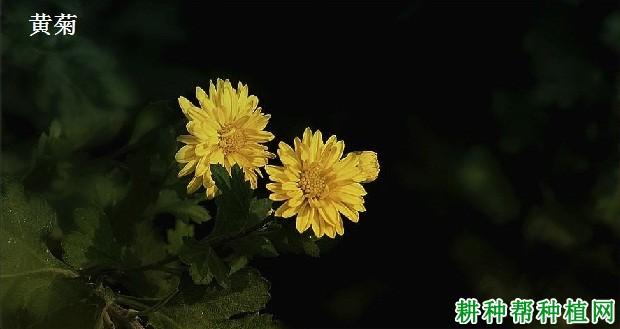 药材种植药用菊花有哪些品种?