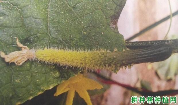蔬菜种植黄瓜为什么化瓜?