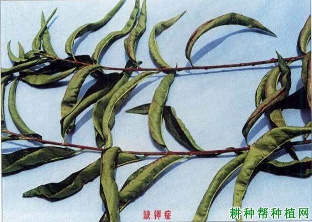 铅笔画桃树步骤的图片