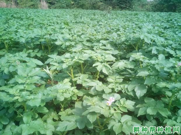 种植马铃薯盖地膜需要注意什么?