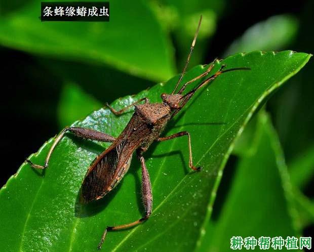 种豆角(豇豆)如何防治条蜂缘蝽?