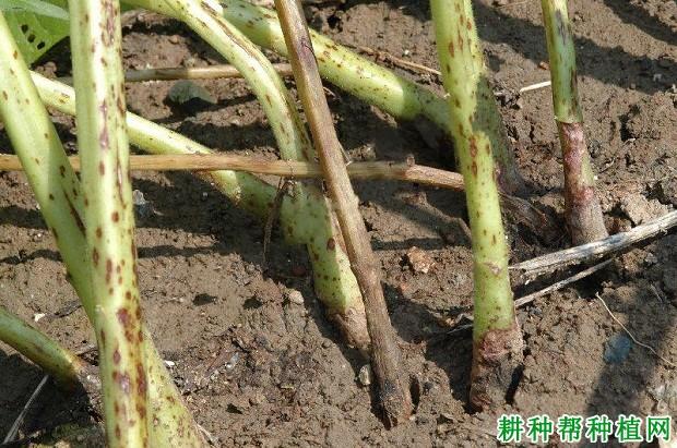 种芝麻如何防治芝麻茎点枯病?