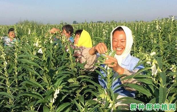 种植芝麻如何提高产量?