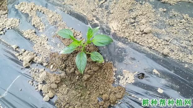 辣椒每亩种植多少株?