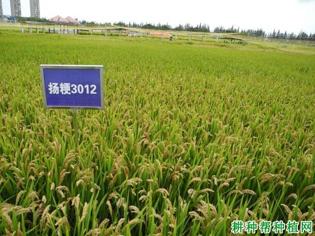 南粳9108稻种1斤多少钱_金粳818稻种多少钱一斤_南粳9108稻种价格?