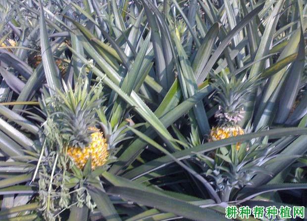 中国菠萝主产地在哪里?