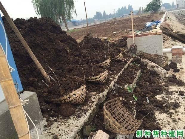 芝麻种植如何科学施肥?