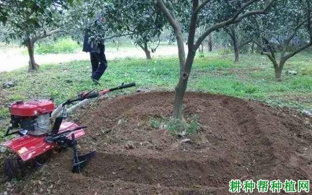 柑橘的根系如何吸收养分?
