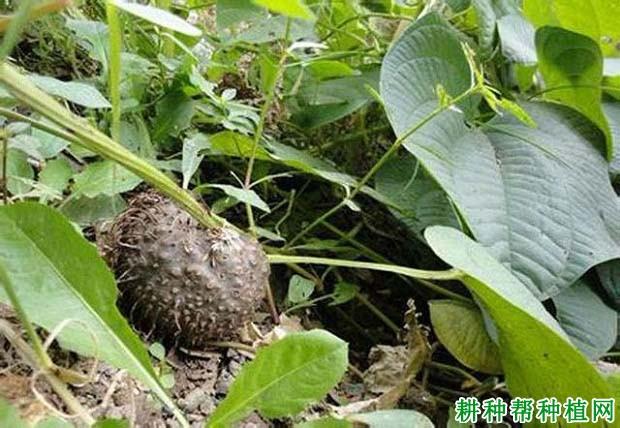 黄独(薯蓣科)图片