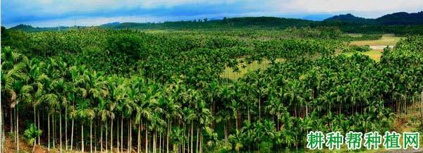 我国槟榔的产地在哪里?哪些地方产槟榔?