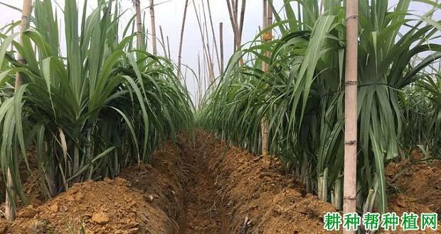 栽种甘蔗为甚么要培土,甘蔗若何培土?