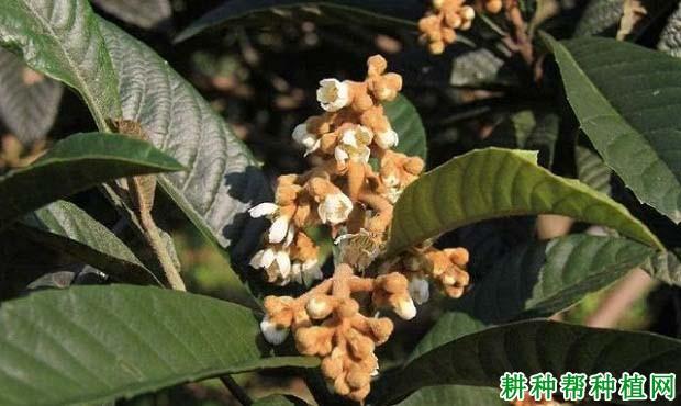枇杷树为什么要疏花蕾,枇杷怎么样疏花蕾?