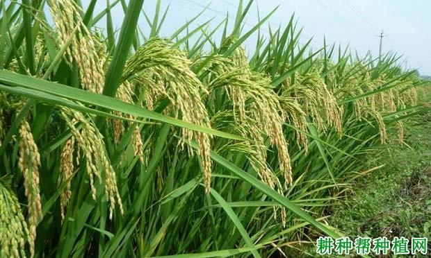 协优9019水稻品种好不好?