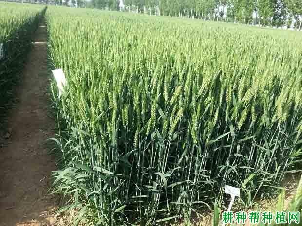 小山9659春性小麦品种好不好?